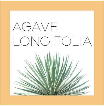 agave longifolia2-01.jpg