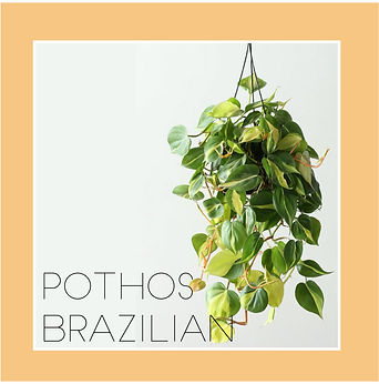 pothos brazilian-01.jpg