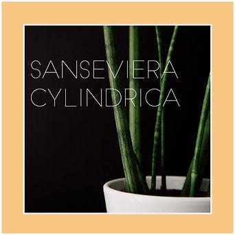 saseviera cylindrica-01.jpg