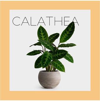 calathea3-01.jpg