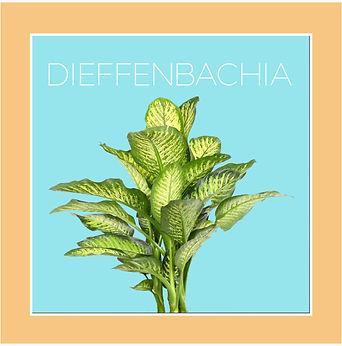 dieffenbachia azz2-01.jpg