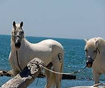 Camargue, chevaux, taureaux