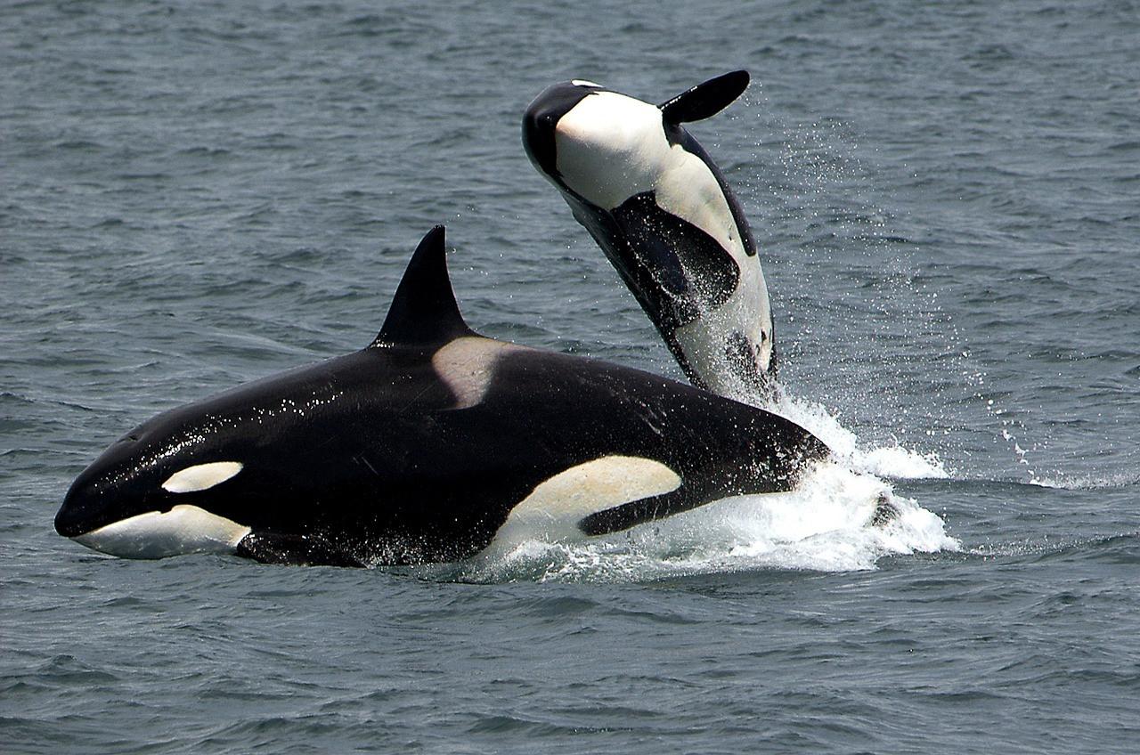 killer-whales-1945411_1280.jpg