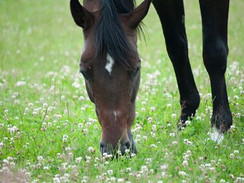 Know What You Grow: Clover Toxicity and Horses