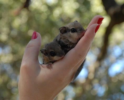 Flying Squirrel Babies