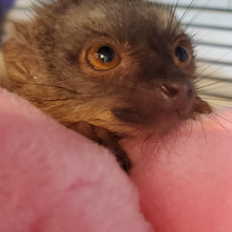 Brown Lemur Baby