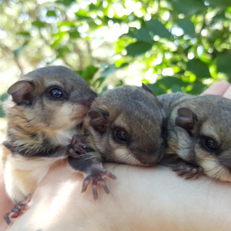 baby Flying Squirrels
