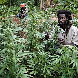 #ganjafarmer #420tours #jamaica #toursja