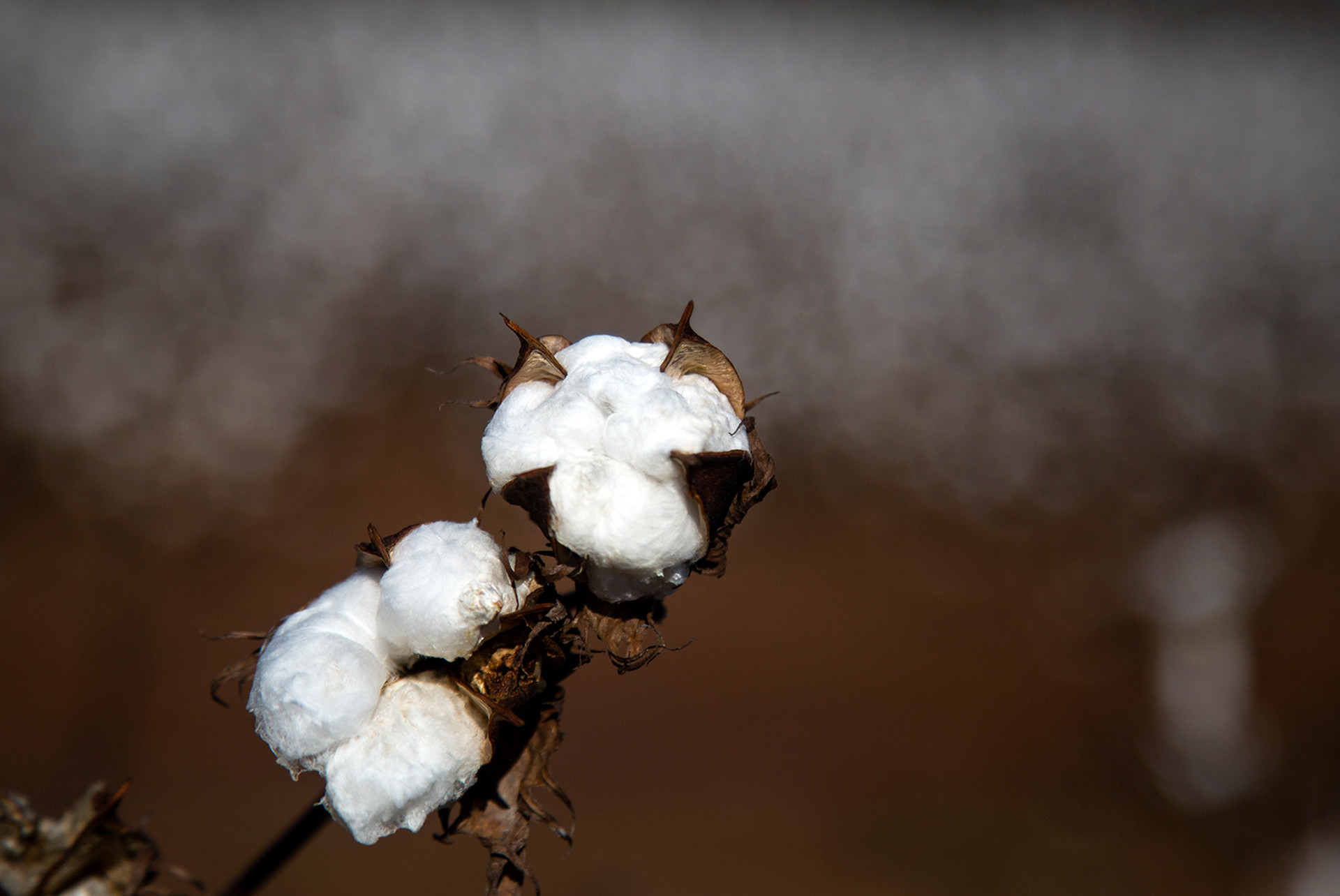 Cotton Stalk
