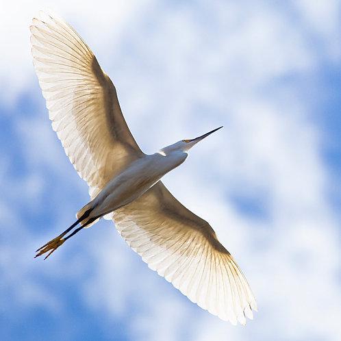 "Snowy Egret, Imperial Beach, California, 7""x5"" archival ink jet print"
