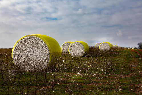 Cotton Harvest III