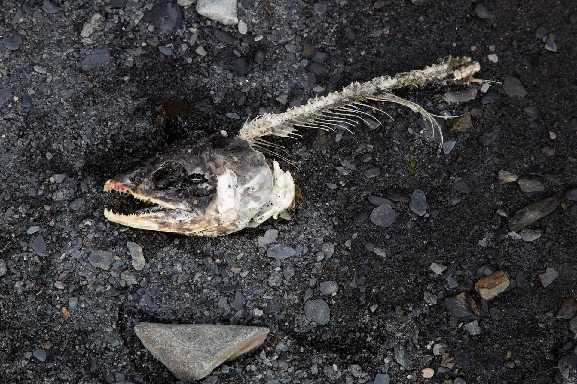 Salmon Skeleton