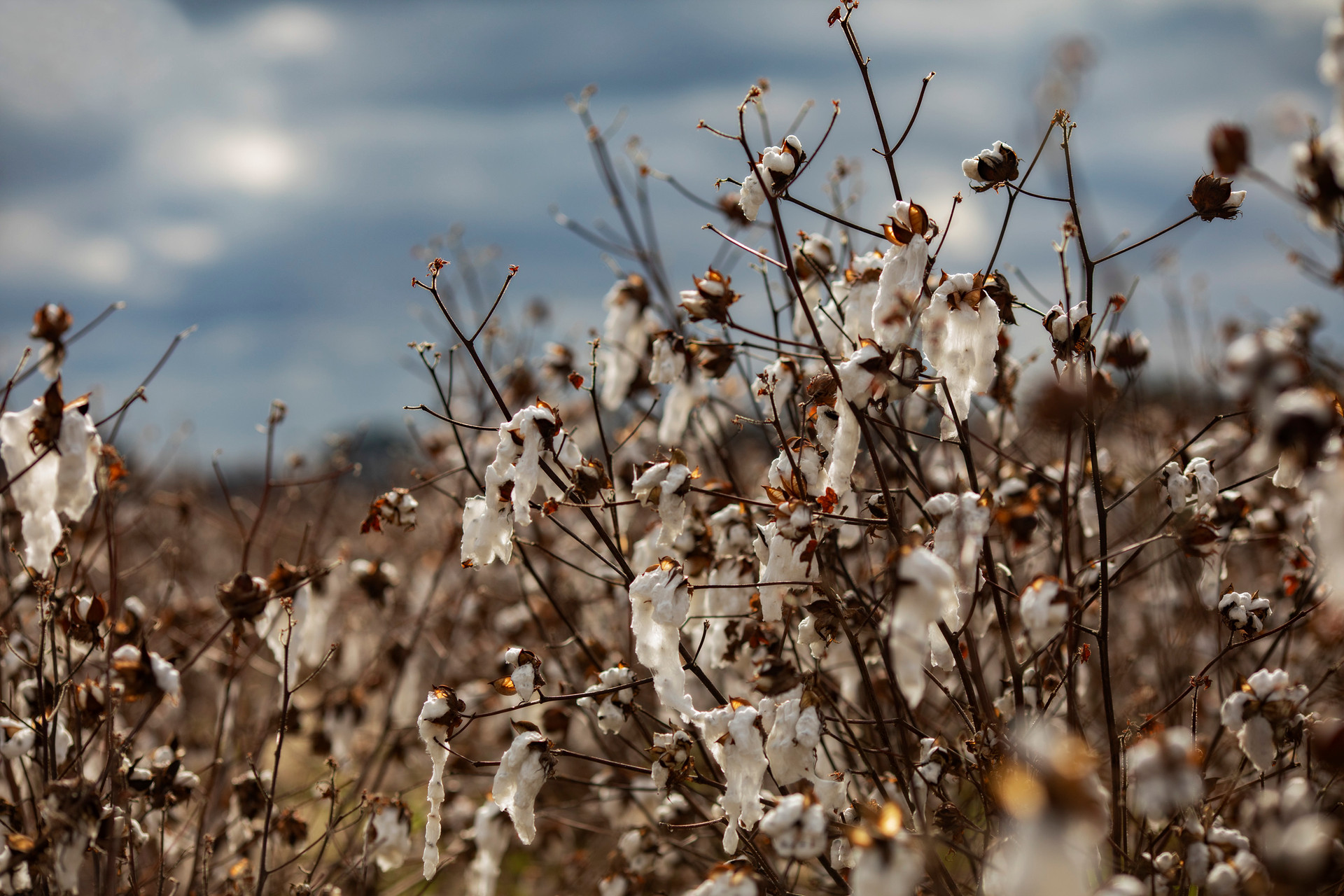 Cotton Field II