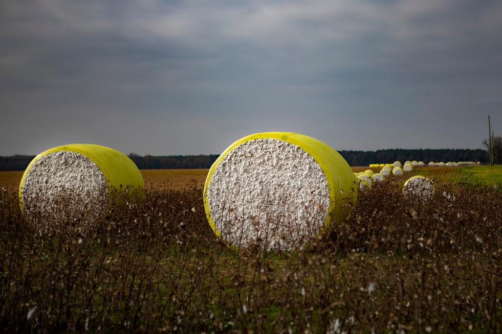 Cotton Harvest III