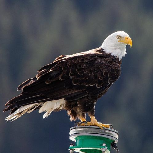 "Bald Eagle, Seward, Alaska, 2018, 7""x5"" archival ink jet print"