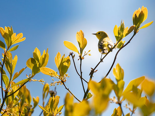 """Yellow Warbler in May, Connecticut 2021,  6""""x6"""" archival ink jet print"""