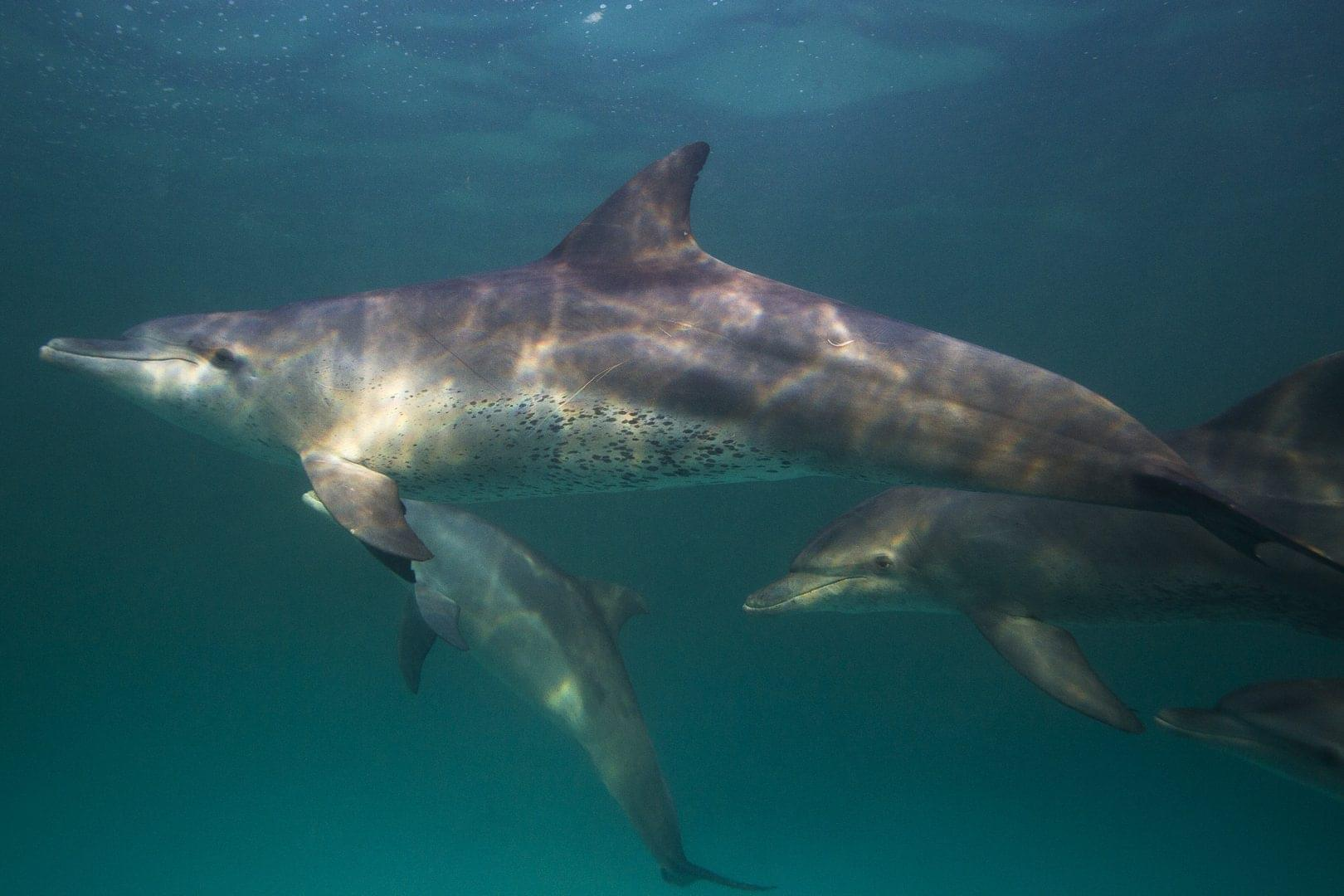 Zanzibar_Dolphins