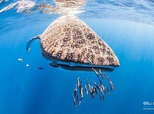 Whaleshark_Santamarie.jpg