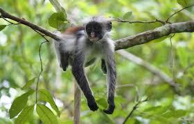 Zanzibar-Jozani_Forest4.jpg