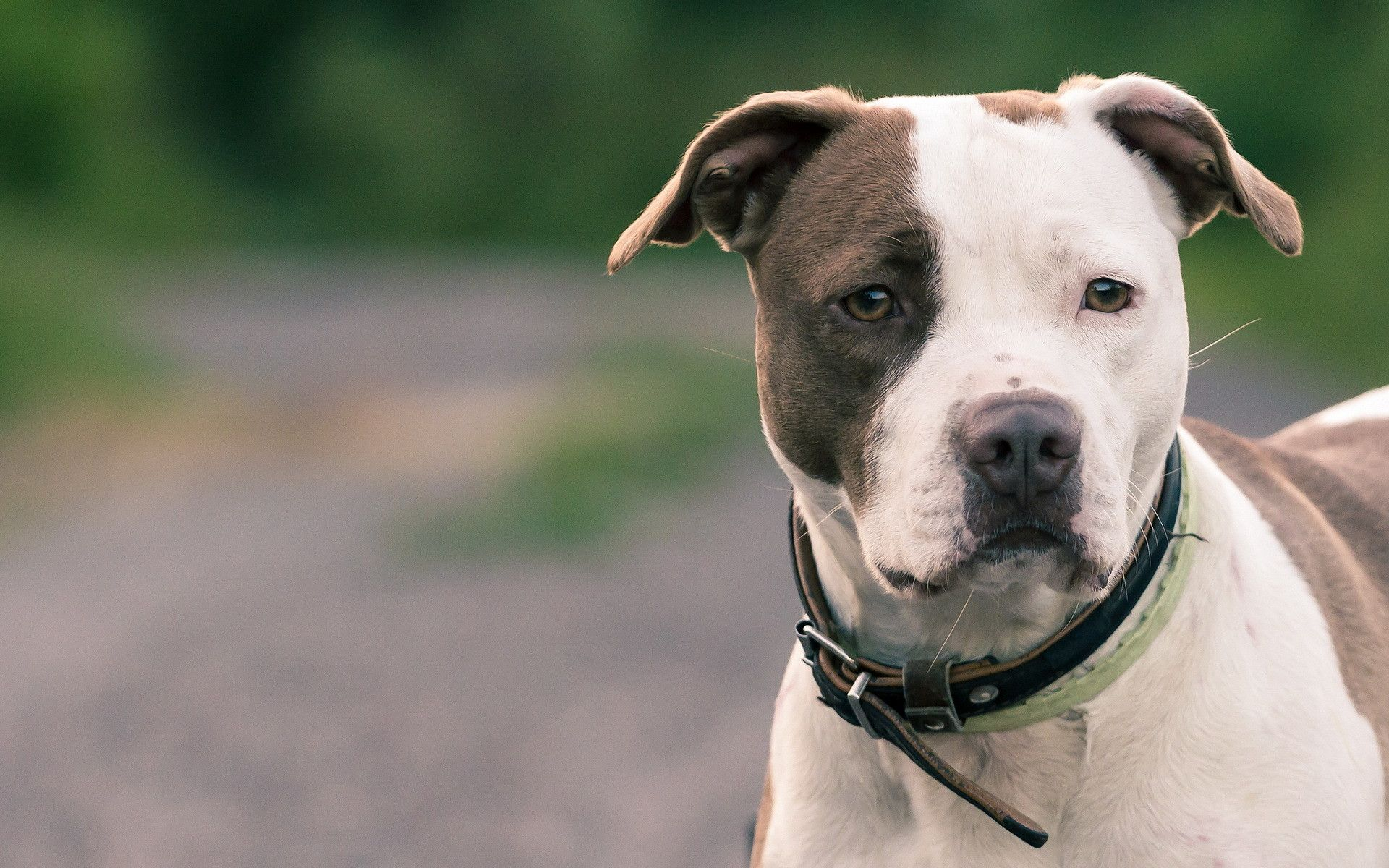 American-Pit-Bull-Terrier-Wallpapers-1