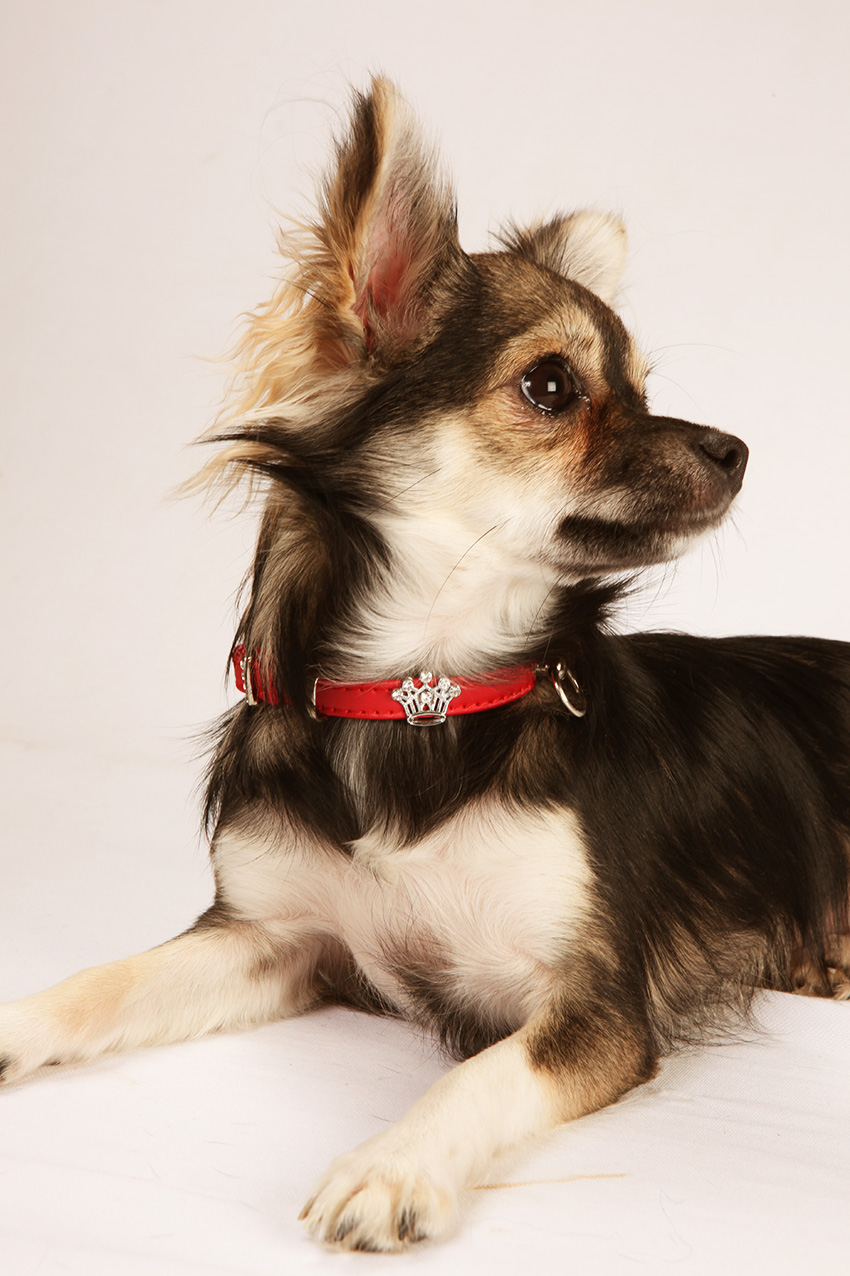 DreamPet™ chihuahua collar. Technotextile.