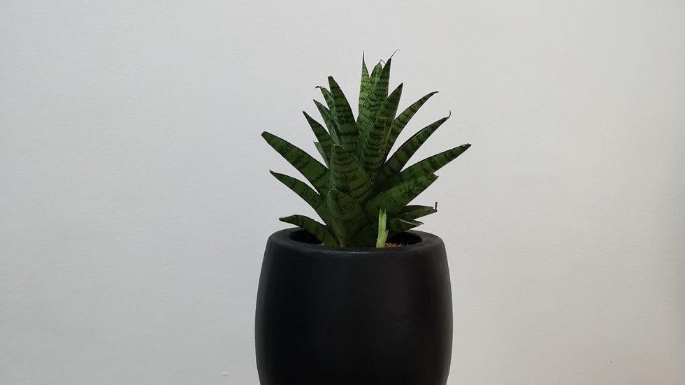 Sansevieria Hybrid