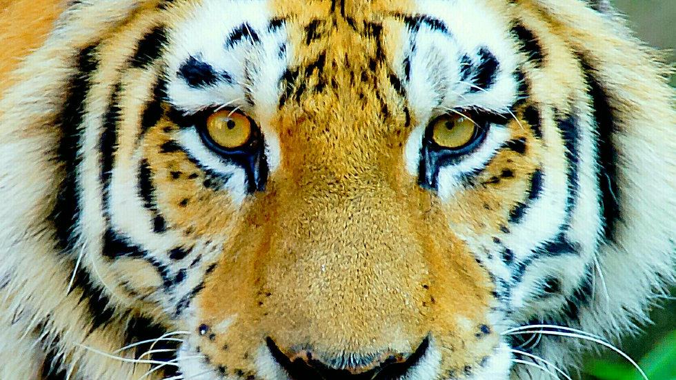"""""""Tiger Stare Down"""""""