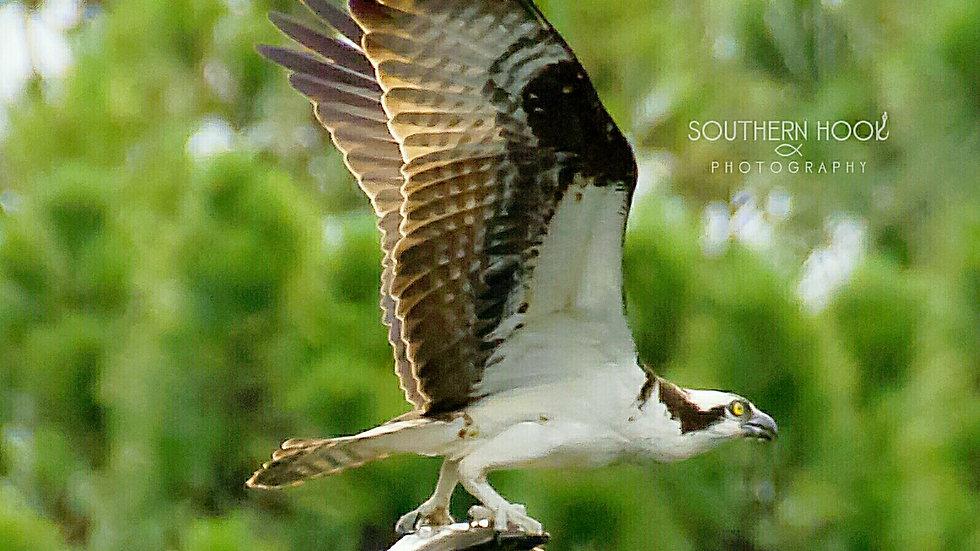 Osprey Grabbing Some Lunch