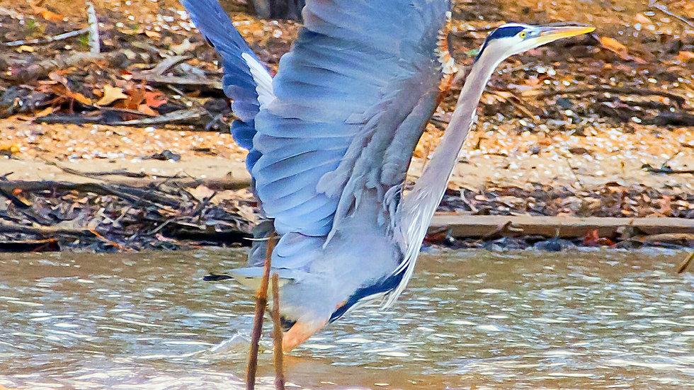 """""""Blue Heron Taking Off"""""""