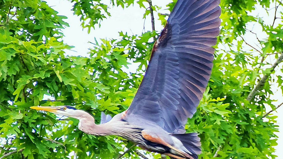 Blue Heron In The Tree Tops, Lake Murray