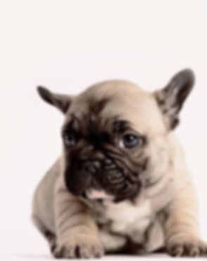 Two%20French%20Bulldogs_edited.jpg