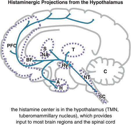Histamine is excitatory to most brain regions