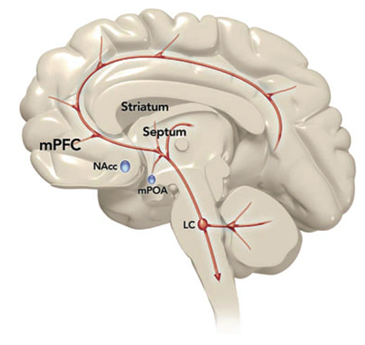 CNS norepinephrine system. It arises from the locus coeruleus (LC) and projects to several brain regions, including the medial preoptic area (mPOA) of the hypothalamus.