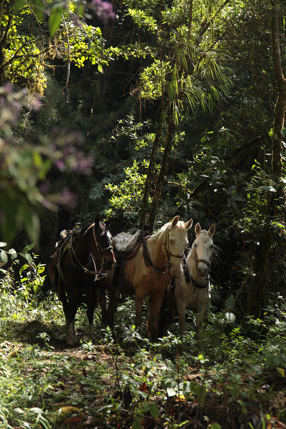 Horses waiting in the jungle in Jardin, Colombia.