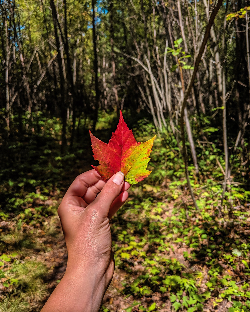 A beautiful red, fall leaf in Northern Michigan.