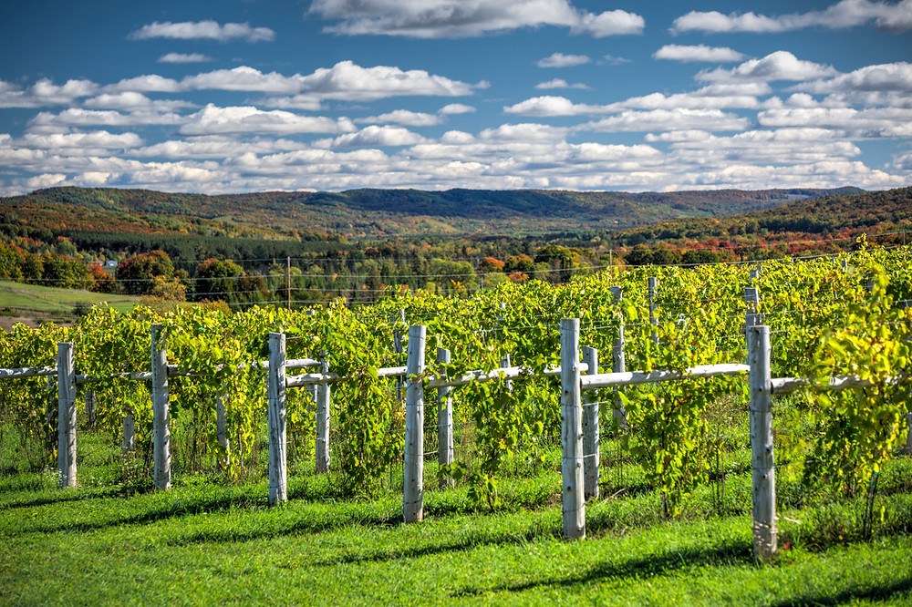 Fall color and vineyards at Petoskey Farms Vineyard & Winery in Petoskey, Michigan in the fall.
