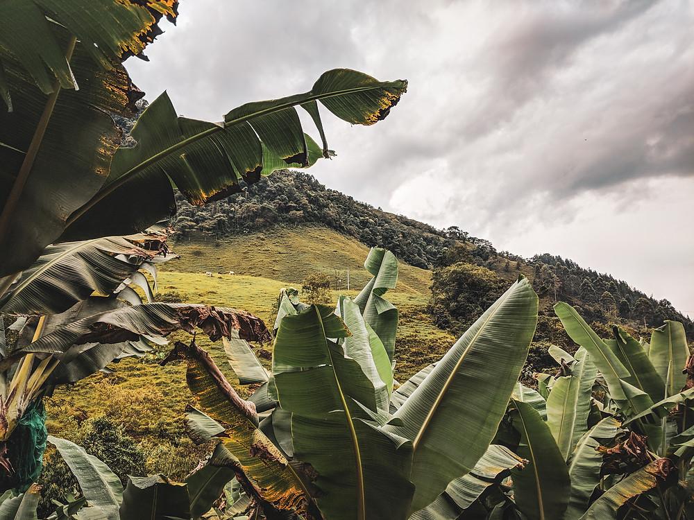 Banana plants inn the mountains of Jardin, Colombia.