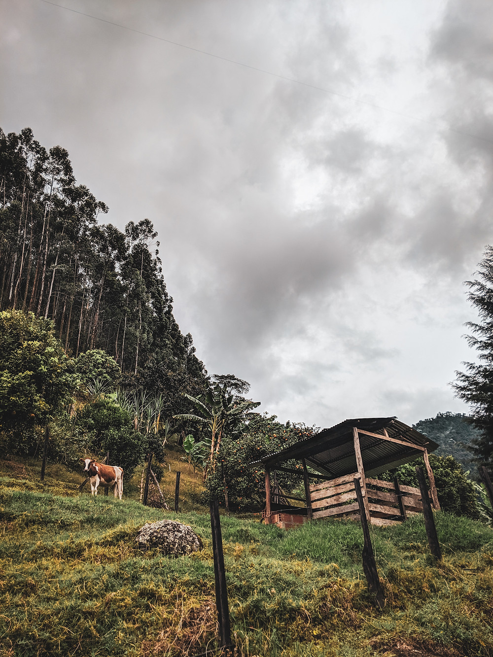 Cows and mountain views on a hike in Jardin, Colombia.