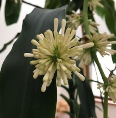 ドラセナの開花