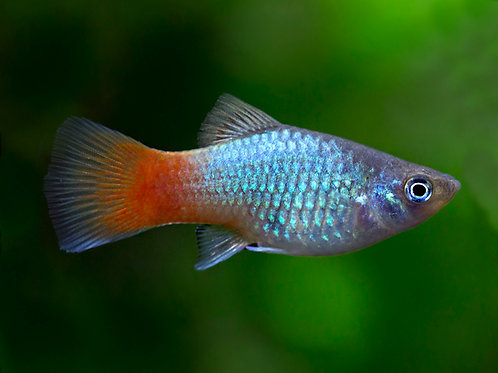 Coral Blue Platy