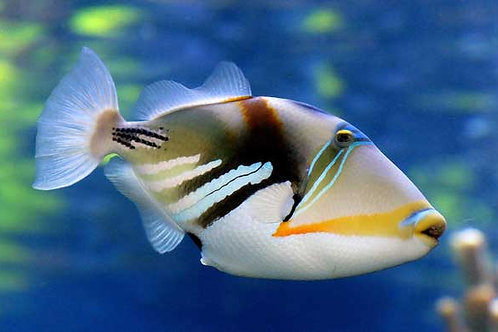 """Picasso Triggerfish 2"""""""
