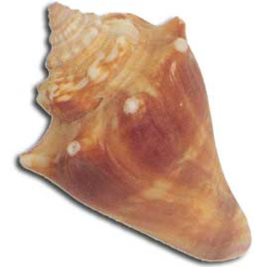 Fighting Conch