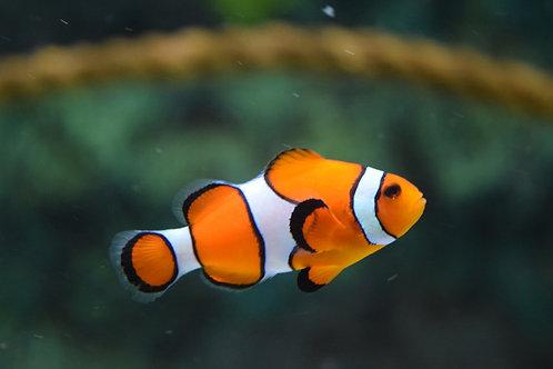 Orange Clown