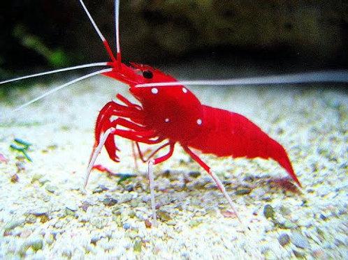 Blood Shrimp LG