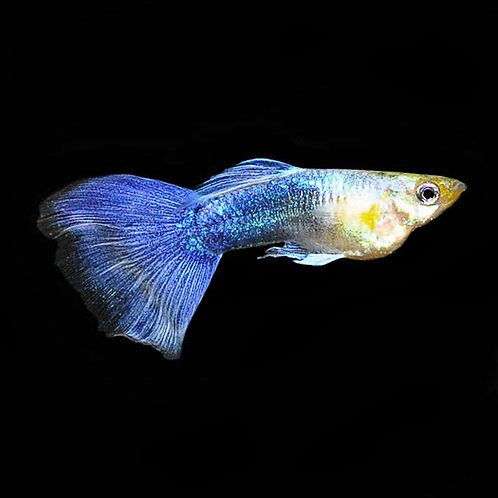 Turquoise Male