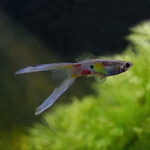 Lyretail Guppy