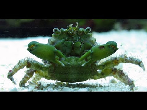 Emerald Crab Green or Red