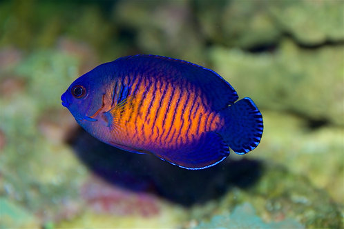 """Coral Beauty 1.75"""""""