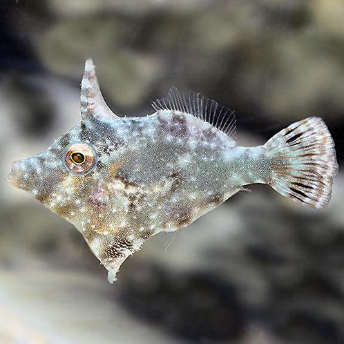File Fish Aptasia Eating
