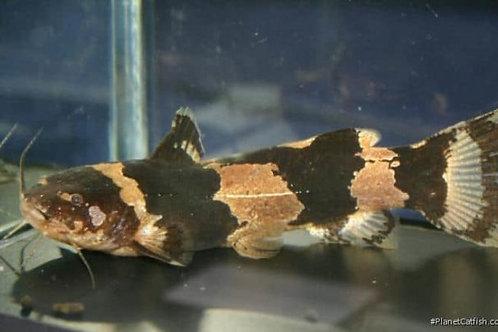 Bumblee Bee Catfish